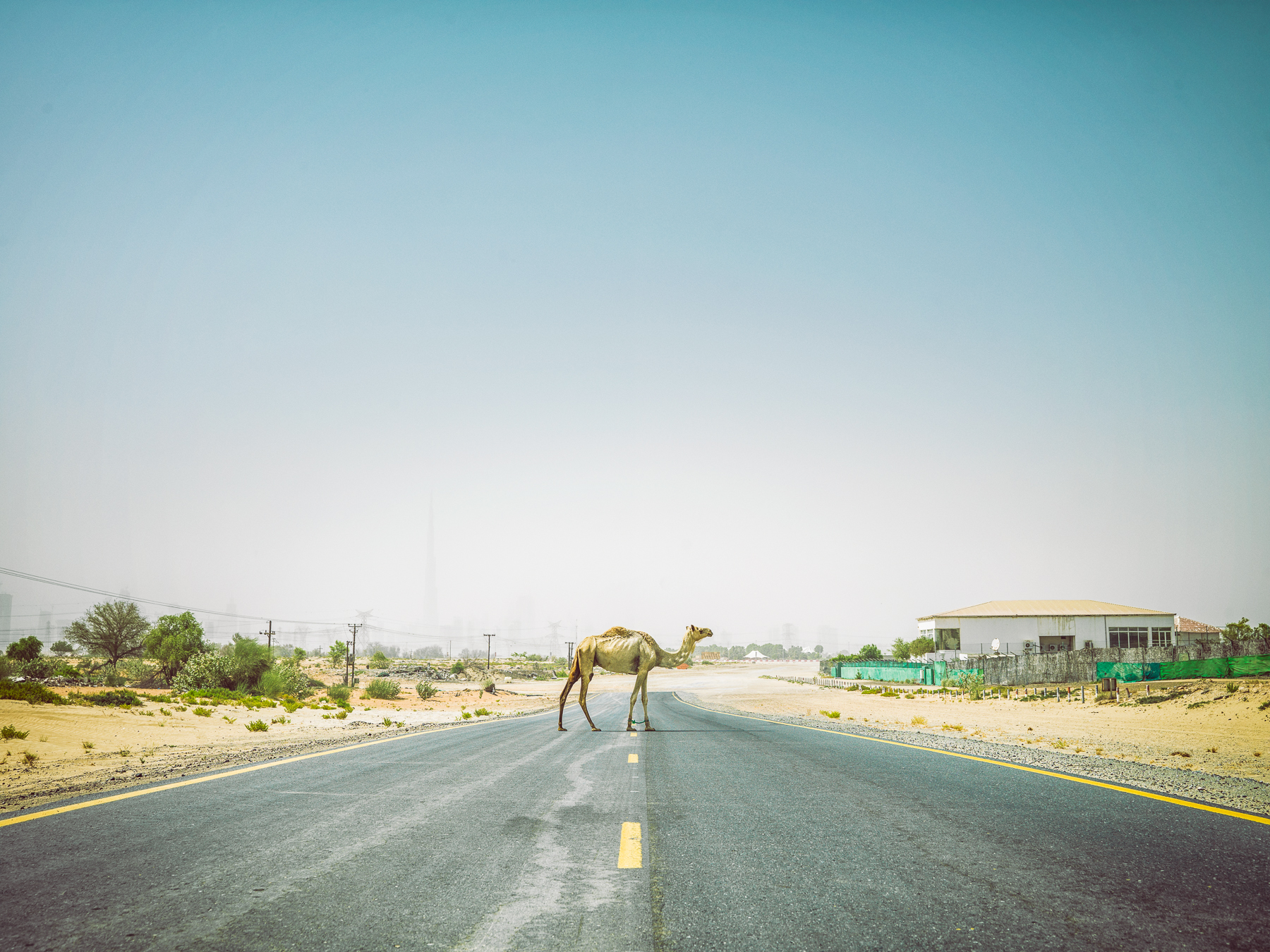 Camel Walking in the Middle of the Road